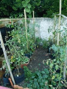 Tomatoes - grown using seeds of nearly extinct vatieties
