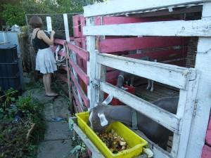 Goats - for milk