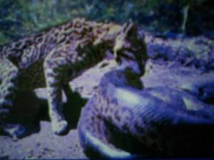 Leopard vs Anaconda!!!