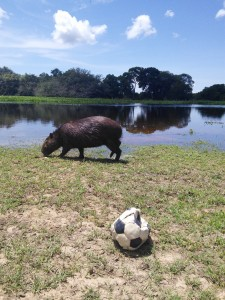 Attempted to play footy with a capivara