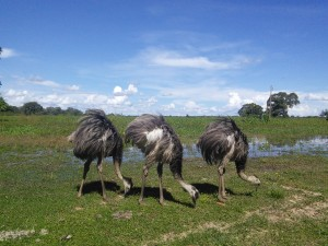 What's the collective noun for emus?