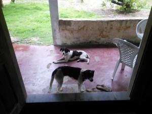 Dog siblings at the pousada